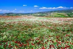 Blume einer Mohnblume lizenzfreies stockfoto