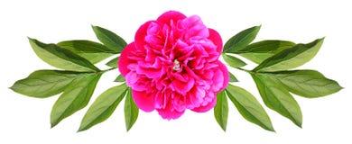 Blume einer Pfingstrose Stockbilder