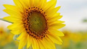 Blume einer Sonnenblumennahaufnahme gegen einen Hintergrund des Feldes und des Himmels Gelbe Blume mit den schönen langen Blumenb stock video