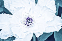 Blume einer weißen Baum ähnlichen Pfingstrosennahaufnahme Lizenzfreies Stockfoto