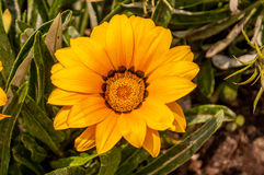 Blume eines gelben Gerbera Stockbilder