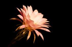 Blume eines Kaktus Stockfoto