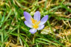 Blume eines Krokusses auf gras Stockfotos