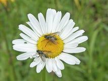 Blume eines margerite Lizenzfreie Stockfotografie