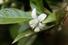 Blume eines Orangenbaums Stockbilder