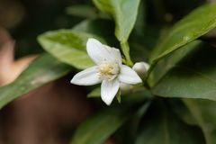 Blume eines Orangenbaums Lizenzfreie Stockbilder