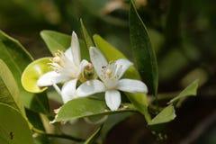 Blume eines Orangenbaums Lizenzfreies Stockfoto
