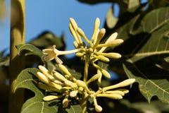 Blume eines Papayabaums Lizenzfreie Stockbilder