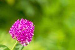 Blume eines rosa Klees in der Sonne Eine rosa Blume Auf einem unscharfen grünen Hintergrund stockfotos