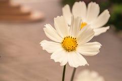 Blume eines weißen Gänseblümchens Stockfoto