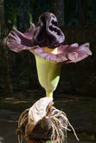 Blume-Elefantfußjamswurzel lizenzfreie stockbilder