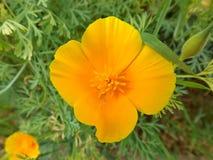 Blume eshsholziya Stockbilder