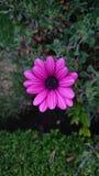 Blume fucsia stockbilder