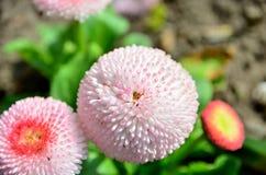 Blume-Gänseblümchen Lizenzfreies Stockbild