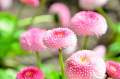 Blume-Gänseblümchen Stockfotos