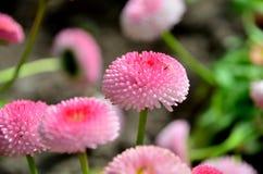 Blume-Gänseblümchen Stockbild