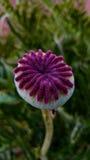Blume, Garten in der Slowenien-Frühlingszeit Stockfotografie