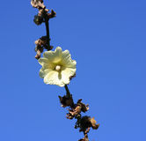 Blume gegen den blauen Himmel Lizenzfreie Stockfotografie