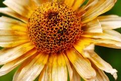 Blume geklemmt von Frost Stockfoto
