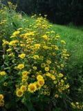 Blume, gelber Wildflower Lizenzfreies Stockfoto