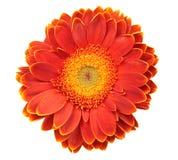 Blume getrennt auf Weiß lizenzfreie stockfotografie