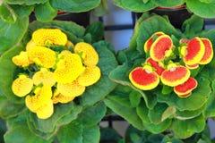 Blume Gloxinia lizenzfreie stockbilder