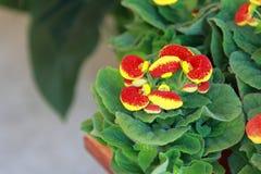 Blume Gloxinia stockfoto