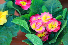 Blume Gloxinia stockfotografie