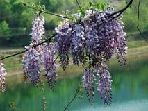 Blume, Glyzinie Lizenzfreie Stockfotografie