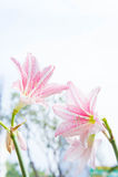 Blume Hippeastrum sieht wie ein Lilienweiß mit rosa Streifen aus pl Lizenzfreies Stockbild