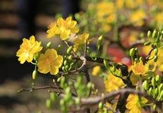 Blume Hoa MAI-Baums (Ochna Integerrima) Lizenzfreie Stockfotografie