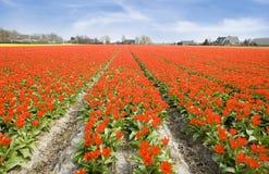Blume Holland lizenzfreie stockbilder