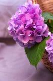 Blume-Hortensie Lizenzfreies Stockbild