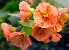 Blume hybrider Abutilon (Raumahorn) Stockbilder