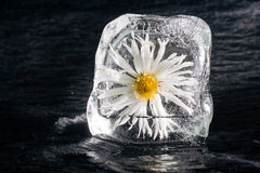 Blume im Eis mit Perspektive Lizenzfreies Stockbild