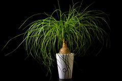 Blume im Potenziometer, Nolina Lizenzfreie Stockfotos