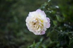 Blume im Regen Stockfoto