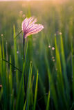 Blume im Reisfeld stockfotografie