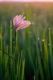 Blume im Reisfeld Stockfoto