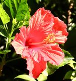 Blume im Rosa Lizenzfreie Stockfotos