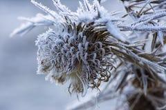 Blume im Winter mit gefrorenen Eiskristallen Lizenzfreies Stockbild