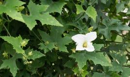 Blume Ivy Gourd oder Coccinia grandis Stockfotos