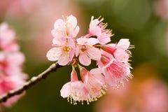 Blume an Ka Doi Phu, Nan Province, Thailand Lizenzfreies Stockfoto