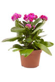 Blume Kalanchoe lizenzfreie stockfotografie