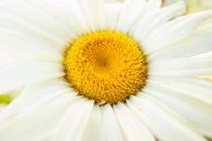 Blume, Kamille Lizenzfreie Stockfotos