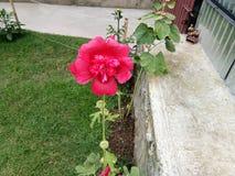 Blume - Kaschmir-Tal Stockfotos