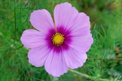 Blume kosmeya auf einem Hintergrund der Natur Stockbild