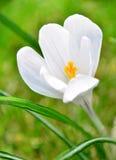Blume-Krokus Lizenzfreie Stockfotos