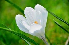 Blume-Krokus Lizenzfreie Stockfotografie