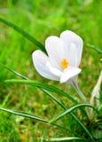 Blume-Krokus Stockbilder